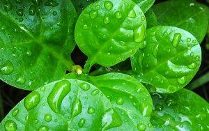 Daun Binahong Sebagai Jamu Asam Urat Herbal