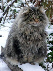 kucing norwegian forest